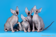 Котята от элитных производителей.