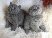 Шотландские вислоухие  и британские котята в Донецке