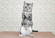 Шотландские котята. Полтава.