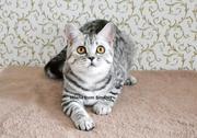Шотландские котята. Ужгород.