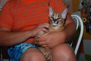 Ручные каракалы малыши выкормыши (степная рысь) – элитные дикие кошки