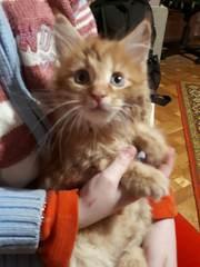 Крупные котята Мейн-Куны