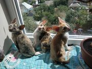 Продам котят породы корниш-рекс.
