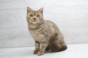 Шотландская лиловая мраморная кошечка,  котята