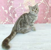 шотландская роскошная кошечка,  котята