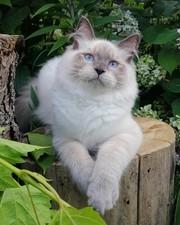 Котята невской маскарадной кошки